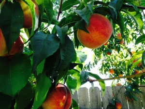 Backyard Peaches