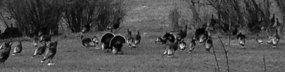 TurkeyCrop