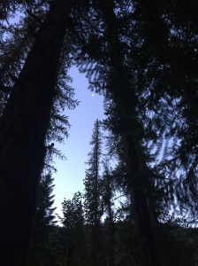 Towering Pines ... ahhhh